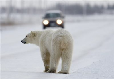 polar bear Churchill@ecoxplorer