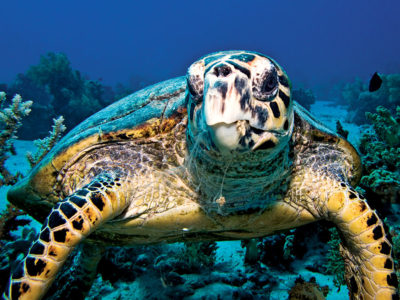 hawksbill turtle illegal products