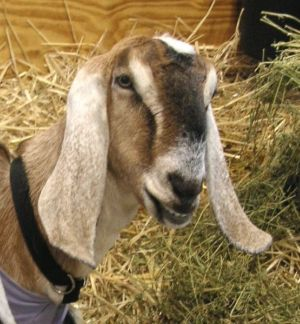 goats as lawn mowers