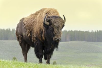 where to bison in USA@ecoxplorer